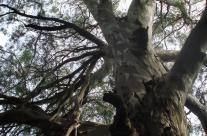 Un bel exemplaire d'eucalyptus centenaire à La Dulce